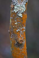 Amelanchier lamarckii bark with lichen.