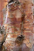 Betula albosinensis 'Red Panda' bark.