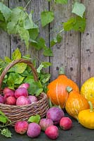 Autumnal display of Windfall Apples in wicker basket accompanied with Gourds, Pumpkins and Humulus lupulus 'Golden Tassels'