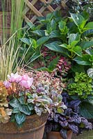 Golden Autumnal pot featuring Heuchera 'Marmalade', Carex trifida 'Rekohu Sunrise', Ajuga reptans 'Burgundy Glow', Abelia x grandiflora and Cyclamen