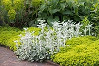 Flowerbed with Stachys byzantina 'Cotton Boll' - lamb's ear, Origanum vulgare 'Aureum' - golden oregano