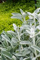 Stachys byzantina 'Cotton Boll' - lamb's ear with Origanum vulgare 'Aureum' - golden oregano