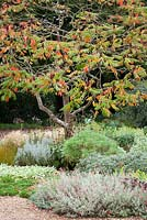 Rhus typhina in the gravel garden at Beth Chatto's garden in Essexstag's horn sumach
