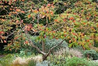 Rhus typhina in the gravel garden at Beth Chatto's garden in Essex. Stag's horn sumach