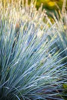 Helictotrichon sempervirens, Blue oat grass. Grass, July.