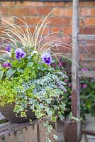 Autumnal container with Variegated Ivy, Thyme, Viola, Ajuga and Carex