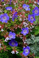 Geranium 'Rozanne' weaving through Abelia x grandiflora. August, West Midlands.  Late summer and autumn flower colour