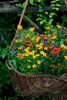 Summer long colour, perfume and bee and butterfly attractants with Tagetes tenuifolia 'Starfire' and new Agastache hybrida 'Astello Indigo' in a hessian lined wicker basket suspended on ropes. August. West Midlands