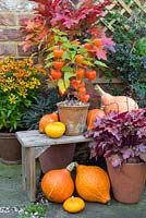 Autumnal display featuring physalis 'Chinese Lampion', gourds, heuchera and helenium