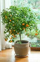 Citrus microcarpa - calamondin growing in pot next to sunny window.