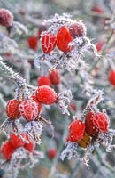 Rosa rubiginosa, syn. Rosa eglanteria hips covered with frost, December