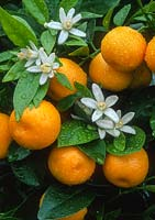 Citrus microcarpa - calamondin. Close up of flowers and fruits.