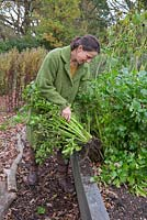 Woman harvesting overgrown celery
