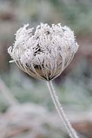 Daucus carota - seed head in frost