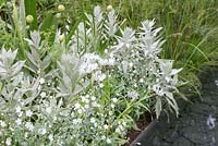 Centaurea montana 'Alba', Artemisia ludoviciana 'Valerie Finnis', Allium 'Mont Blanc' and Omphalodes linifolia beside water feature. The Telegraph Garden. RHS Chelsea Flower Show, 2015.