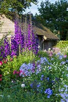 Delphiniums catch the early morning light at Wollerton Old Hall Garden, Shropshire. Other planting includes Campanula lactiflora and Phlox paniculata. July