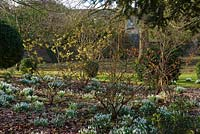Hamamelis mollis underplanted with Galanthus nivalis