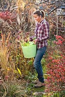 Woman holds plastic trug of perennials Sedum 'Herbstfreude' ready to be planted in bed.