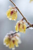 Chimonanthus praecox flowers in January with frost