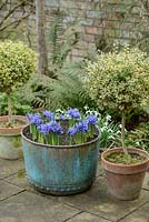 Antique copper verdigris tub with Iris reticulata 'Harmony'. Box topiary, ferns and snowdrops. February