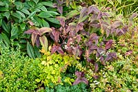 Autumn border with Persicaria macrophylla 'Red Dragon', Astilbe pumila, Buxus sempervirens, Abelia grandiflora 'Sherwood' and Viburnum davidii at Church View Appleby-in-Westmorland, Cumbria