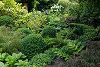 A dense woodland garden with shade tolerant plants around Buxus sempervirens balls and hedging.