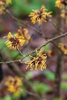 Hamamelis x intermedia 'Harry' - Witch Hazel