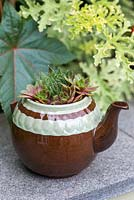 A recycled teapot planted with Echeveria.
