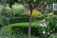 A view of a suburban garden from underneath a Photinia x fraseri standard. The garden has a circular structure created by shaped box and a clover lawn. Deep borders of mixed planting include Geranium, cosmos, Rudbeckia, Salvia, Verbena and ornamental grasses.