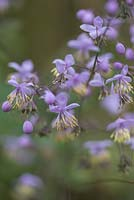 Thalictrum delavayi, a perennial which produces Fluffy sprays of pale purple flowers on upright, green stems above clumps of fern-like, grey-green leaves.
