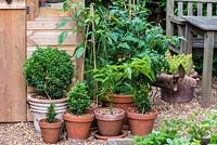 Terracotta containers planted with young box plants, tomato plants and pepper.
