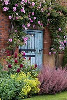 A blue door surrounded by Rosa 'Blairie No.2' behind a mixed border with rose, alchemilla and heuchera.