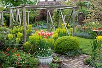 A small village garden intensively planted with a blend of trees, shrubs, hardy perennials, a collection of around 100 geums, and spring bulbs - tulips, irises, camassias and bluebells rising above a froth of forget-me-nots. Pergola, made from chestnut poles, spans brick path edged in box balls and Euphorbia characias subsp. wulfenii. On right: Cercis canadensis in flower. In large white pot, Tulipa 'Perestroyka'.