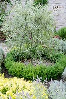 Pyrus salicifolia 'Pendula' - Weeping Pear underplanted with a circle of Box hedging - Midney Gardens, Somerset