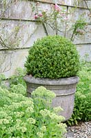 Clipped ball of Buxus sempervirens in a stone container, surrounded by Sedum
