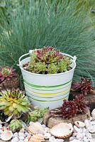Succulents planted in a metal buckets, shells and cork in a contemporary seaside themed garden, with beachcombing finds.