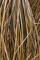 Carex comans 'Bronze', sedge, an ornamental grass with arching coppery foliage.