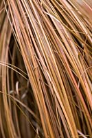 Carex comans 'Milk Chocolate', sedge, an evergreen ornamental grass with long chocolate coloured blades that curve round.