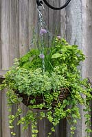 Herb hanging basket planted with trailing Indian mint - Satureja douglasii, chives, French parsley, moss curled parsley, basil and oregano 'Country Cream'.