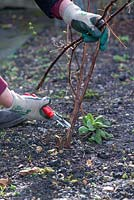 Autumn fruiting raspberry, 'Polka', gardener cutting back raspberry canes to promote new growth for fruiting.