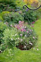 May hanging basket planted with alpine plants: moss phlox, sea campion, sea thrift, pinks, cranesbill and  mossy saxifrage.  Phlox subulata 'Tamaongalei', Silene maritima, Dianthus 'Pixie Star', Armeria maritima 'Armada Rose' and 'Nifty Thrifty', Geranium cantabrigiense 'Westray' and Saxifraga 'White Star'.
