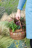 Planting an early autumn hanging basket. Chrysanthemum Garden Yahoo Purple, Cyclamen hederifolium, red hook sedge - Uncinia rubra, frosted sedge grass - Carex 'Frosted Curls', Mexican feather grass - Stipa tenuissima 'Pony Tails' and trailing Indian mint - Saturega douglasii.