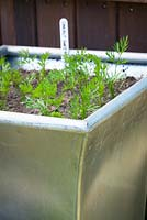 Young seedlings of Carrot 'Sweet Candle' growing in a metal container. Daucus carota