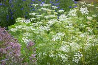 Ammi majus and Borago officinalis - borage