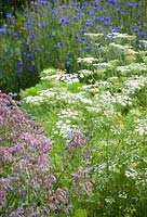 Ammi majus, Borago officinalis - borage and Centaurea cyanus - cornflowers