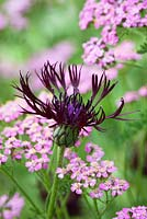 Centaurea 'Jordy' - Knapweed with Achillea millefolium 'Lilac Beauty' - Yarrow