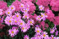 Aster amellus 'Pink Zenith' with Sedum spectabile.