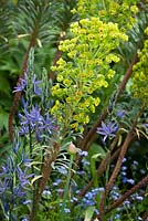 Euphorbia characias subsp. Wulfenii with Camassia leichtlinii, forget-me-nots and an allium bud.