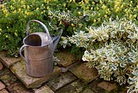 Galvanised tin watering can on terracotta paving with Corydalis lutea and Euonymus fortunei 'Silver Queen'