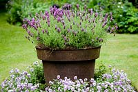 Rusted iron pot holding Lavandula stoechas cultivar in square focal bed on lawn, with underplanting of pale mauve Violas